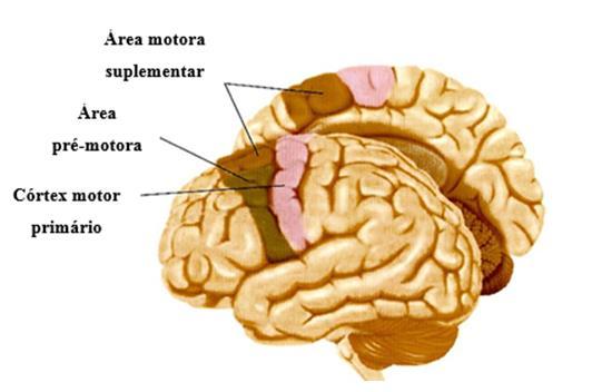 Figura-3-Cortex-cerebral-enfase-na-regiao-central